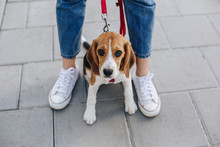 Portrait Of Cute Little Beagle Dog Looking Up While Sitting Between Womans Legs On The Asphalt Pathway. Woman Walking With The Beagle Puppy.