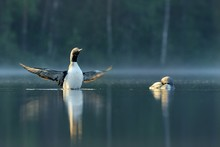 Two Arctic Loons On Beautiful Lake In Finland In The Morning