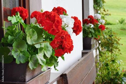 Obraz na plátně Richly blooming geranium on the window