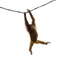 Baby Orangutan Swinging On Rop...