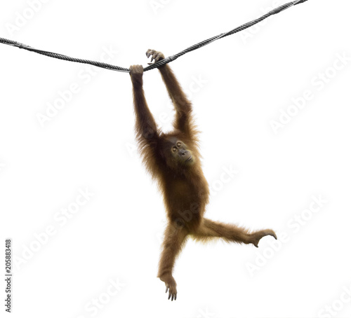 Baby orangutan swinging on rope in a funny pose isolated on white background