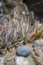 Aloe Bushes In The Wild. The T...