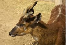 Sitatunga, Marshbuck (Tragelaphus Spekii).