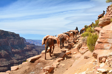 Mule pack train in Grand Canyon