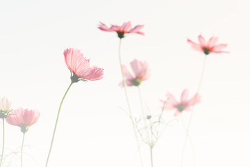 Soft focus of pink cosmos flower on pastel color style for background