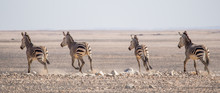 Group Of Zebras Riding On Hori...