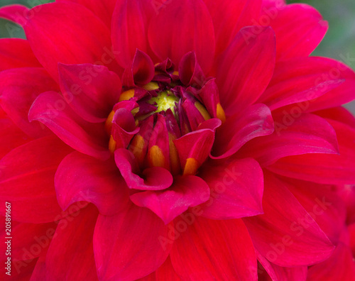 Deurstickers Dahlia red dahlia flower close-up