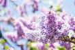 Close-up blossoming Syringa vulgaris lilacs branch. Beautiful springtime floral background with bunch of violet purple flowers. lilac blooming plants background. soft focus photo