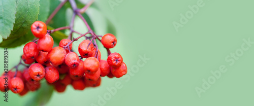 Photo Mountain rowan ash branch berries on green background