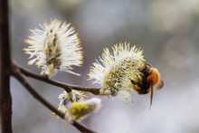 Bumblebee Pollinates The Willo...