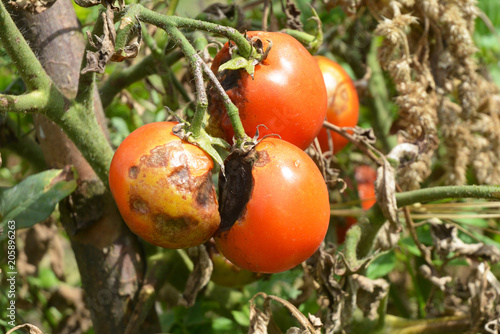 Tomatoes get sick by late blight. Close up on Phytophthora infestans is an oomycete that causes the serious tomatoes disease known as potato blight.