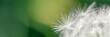 canvas print picture - Pusteblumen Nahaufnahme Panorama auf grünem Hintergrund