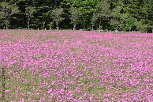 Shibazakura Pink Moss Kawaguchiko At Yamanashi Phlox Flowers And Red Of