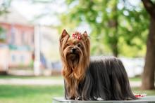 Yorkshire Terrier Dog Beautifu...