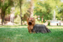 Yorkshire Terrier Dog Beautiful Spring  Portrait