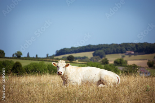 Photo Stands Cow Theme is agriculture and divorce of cattle. One white cow stands, walks on the field with yellow grass against of the hills outside the city in village in the summer in the Burgundy region in France
