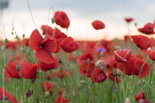 Aluminium Prints Beautiful field of red poppies