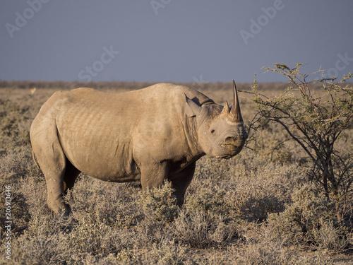 Fotobehang Neushoorn Portrait of large endangered black rhino feeding on small bush in Etosha National Park, Namibia, Africa