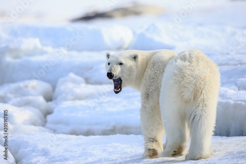Spoed Foto op Canvas Ijsbeer Polar bear of Spitzbergen (Ursus maritimus)