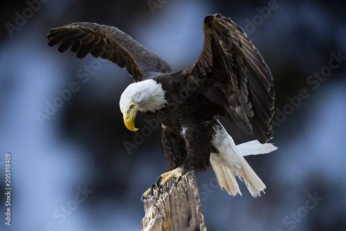 Valokuvatapetti Bald Eagle (Haliaeetus leucocephalus) Cleared for Landing