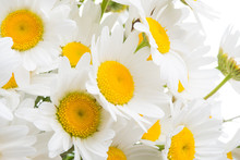 Bouquet Of Camomiles Close-up Isolated