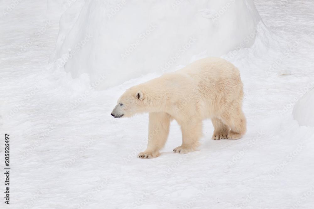 Large polar bear is walking on white snow. Animals in wildlife.