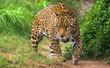 canvas print picture - Jaguar in Amazon rain forest