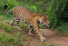 Jaguar In Amazon Rain Forest