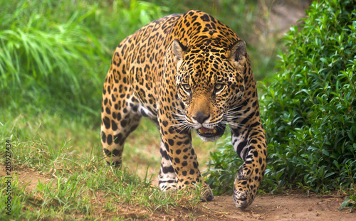 Obraz na plátně Jaguar in Amazon rain forest
