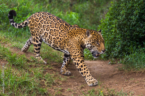 Tela Jaguar in Amazon rain forest