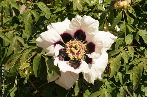 Paeonia suffruticosa ezra pound white flowers with purple Canvas Print