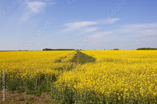 Keuken foto achterwand Meloen yellow flowering oilseed rape