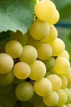 Green Grapes In Vine Yard On Green Background.White Grape On A Branch Of Green Vine In Vineyard Before Harvest.Riped Grapes Ready For Harvest/Ripe Grapes In Sunny Vine Yard.Grapes Growing On The Vine