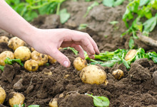 A Man's Hand Is Drawn To A Young Potato. The Company For Harvesting Potatoes. The Farmer Is Working In The Field. Growing Of Vegetables And Frutkov, Agroculture, Agrocomplex. Harvest 2018.