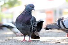 Four Feral Rock Pigeons (colum...