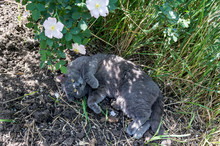 A Gray Cat Hides From The Sun ...
