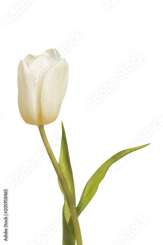 Deurstickers Tulp White tulip flower