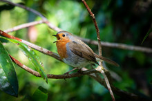 Robin Singing In The Undergrowth