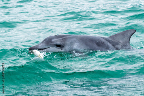 Dolphin having lunch Canvas Print