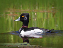 Male Ring Necked Duck Swimming In The Water