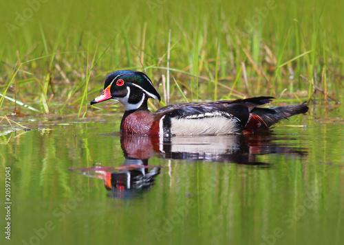Male Wood Duck Swimming in the Water