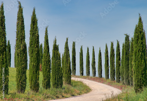 Fotografía Rows of Cypress Trees in the Tuscan Countryside