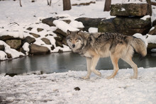 Timber Wolf (also Known As A G...