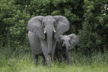 Mother Elephant With Baby On T...