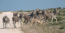 A Herd Of Zebra Cross A Road In Namibia, But One Seems Indecisive