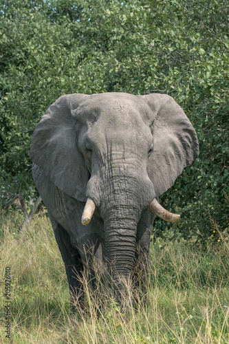 Elephant walking through the brush in Botswana, Africa Poster