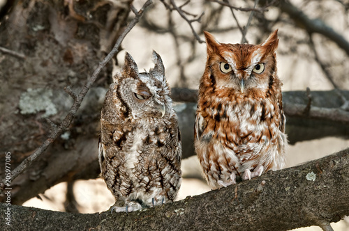 Pair of Eastern Screech Owls, Gray and Rust, Sitting in a Tree Canvas-taulu