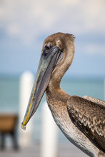 Brown Pelican, Macro