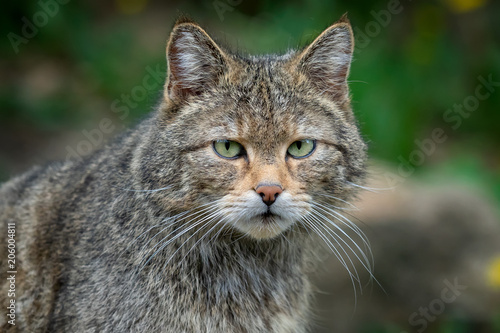 Photo  European Wild Cat (Felis silvestris)