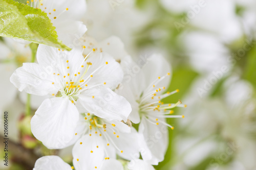 Branch Of Fresh Blooming Cherry Tree Spring Flowers Background